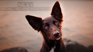 Nilay  5 months [Border Collie   FEELING LIKE HOME Made My Day]