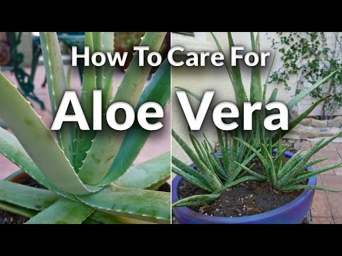 A Plant with Purpose: How To Care For Aloe Vera