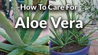 A Plant with Purpose: How To Care For Aloe Vera / Joy Us Garden