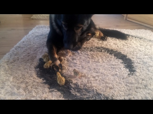 Thorin German Shepherd watches over small baby quails