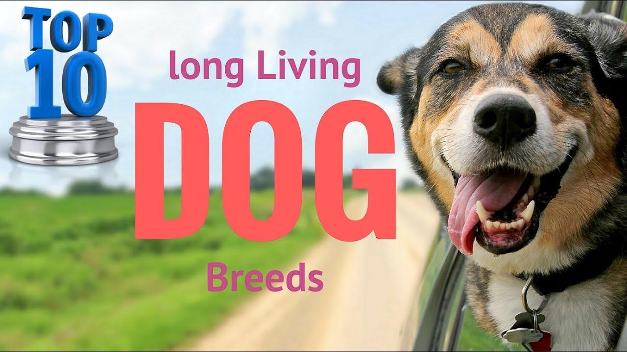 Longest Living Dog Breed Large