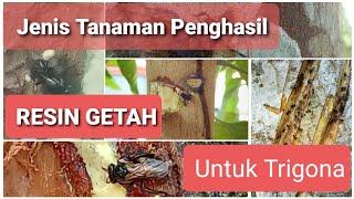 Download JENIS TANAMAN PENGHASIL RESIN GETAH TERBAIK (PROPOLIS) UNTUK TRIGONA/KELULUT/KLANCENG