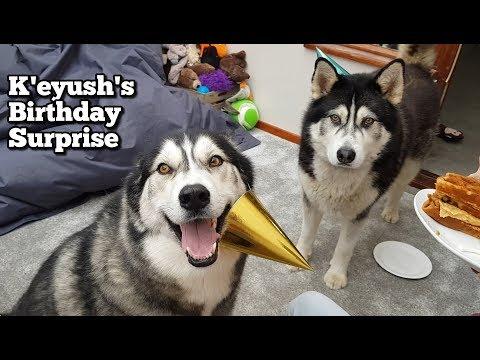 Malamute Sherpa surprises best friend Keyush on his birthday