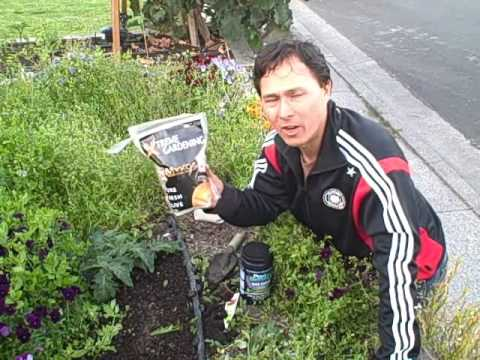 Grow Bigger, Healthier and More Food by using Mycorrhiza in Your Garden