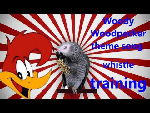 """""""Woody Woodpecker"""" whistle training budgie and parrot teach learn training"""
