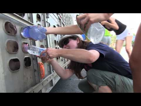 Water for pig angel victims in Toronto's heat wave