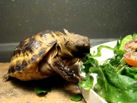 baby russian tortoise eating lunch   youtube