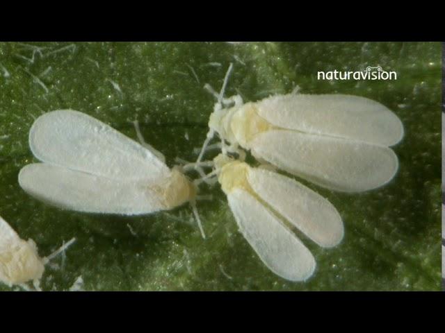 Mosca Blanca en el cultivo de ornamentales