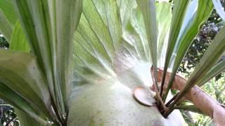 Platycerium bifurcatum - Staghorn Ferns - elkhorn ferns HD 02