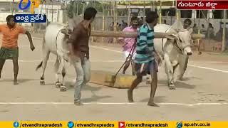 State level Ongole Bull Competitions Organised | Chilakaluripet | NTR Death Anniversary