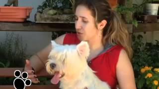 Canil Zoe Harus - West H. White Terrier - Programa Esse Bicho é O Bicho