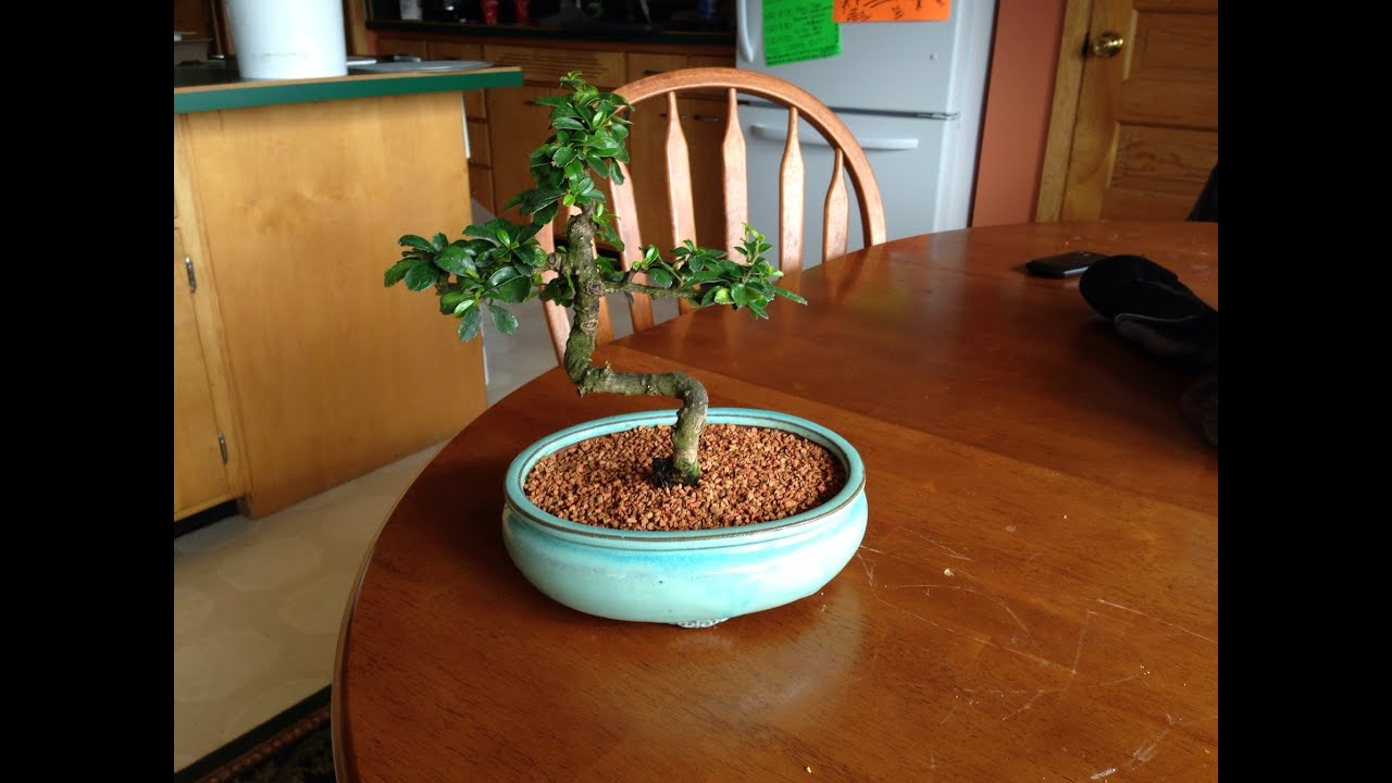 Fukien Tea Bonsai Tree Youtube