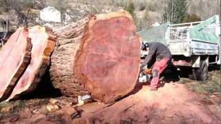 Séquoia et STIHL 880