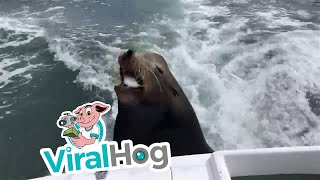 Sea Lion Catches Ride on Boat for Free Snacks || ViralHog