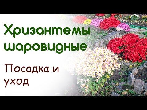 Хризантемы шаровидные  Посадка, уход, укрытие