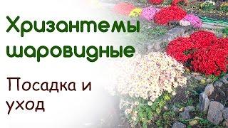 Хризантемы шаровидные  Посадка, уход, укрытие(, 2015-10-07T19:48:54.000Z)