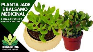 Plantas Jade e Balsamo Medicinal veja a Diferença dessas Espécies