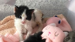 Rescue The Survival Newborn Kitten Only Hours Old Tiny and Fragile Need Syringe Feeding