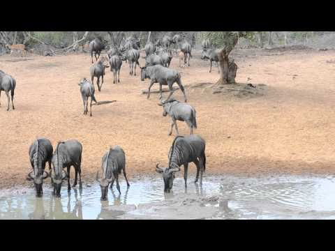 Thirsty Wildebeest at the Water Hole Durban Safari