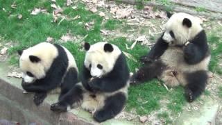 2017/3/ 成都熊貓基地 2號別墅(慶大、慶小、萌蘭)