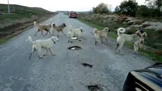 çoban köpekleri saldırı