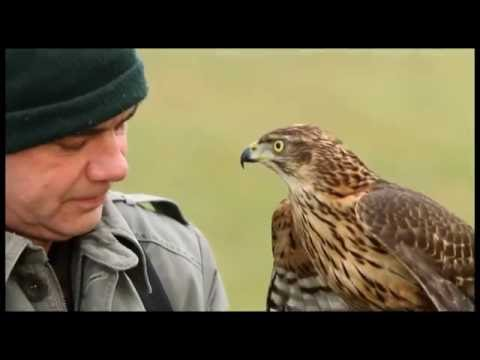 Hunting With Falcon & goshawk Video Training - Falcon attack Bird of Prey