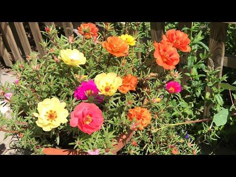 Портулак от посева до цветения