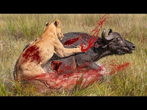 Cape Buffalo Vs Lions|Buffaloes Gore Lion To Death|Buffalo Attack And Kill Lions