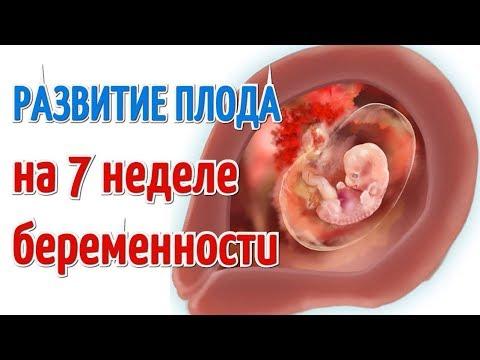 Как выглядит малыш на 7 недели беременности
