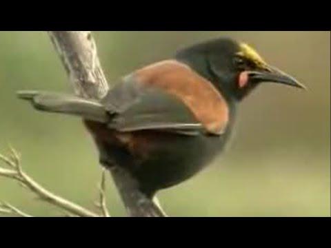 David Attenborough Up Close With Exotic Birds In New Zealand  - BBC Wildlife