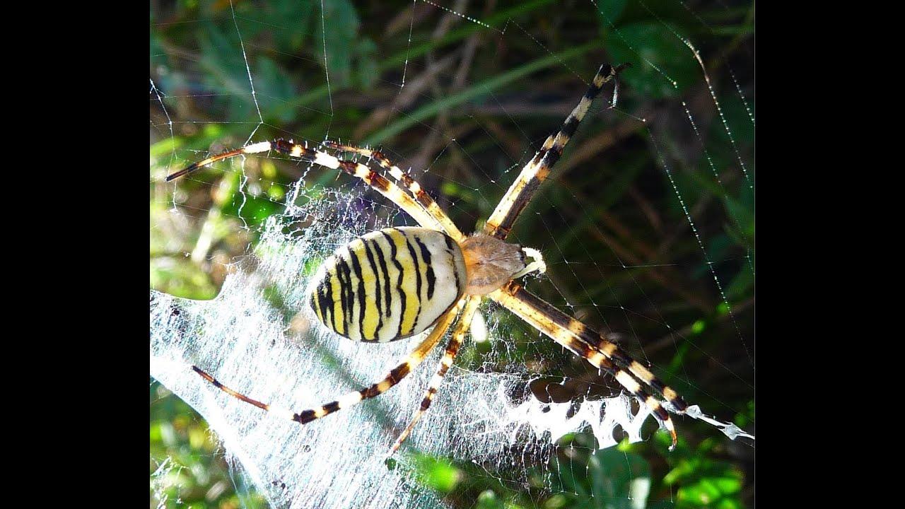 Spider araign e argiope frelon argiope bruennichi mange - Que mange les punaises ...