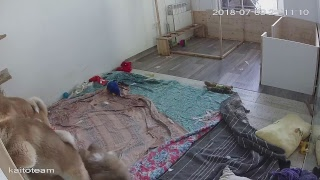 ЩЕНКИ #АКИТА ОНЛАЙН | #AKITA PUPPIES ONLINE | PET 犬 | DAY 87