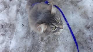 "Домашняя кошка.""Хочу на ручки!!!"""