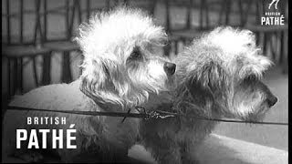 Terrier Dog Show In London (1939)