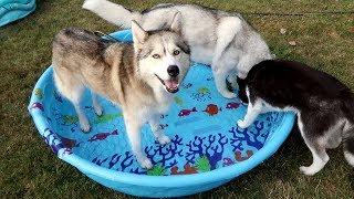 husky-splash-in-the-pool-after-vet-trip