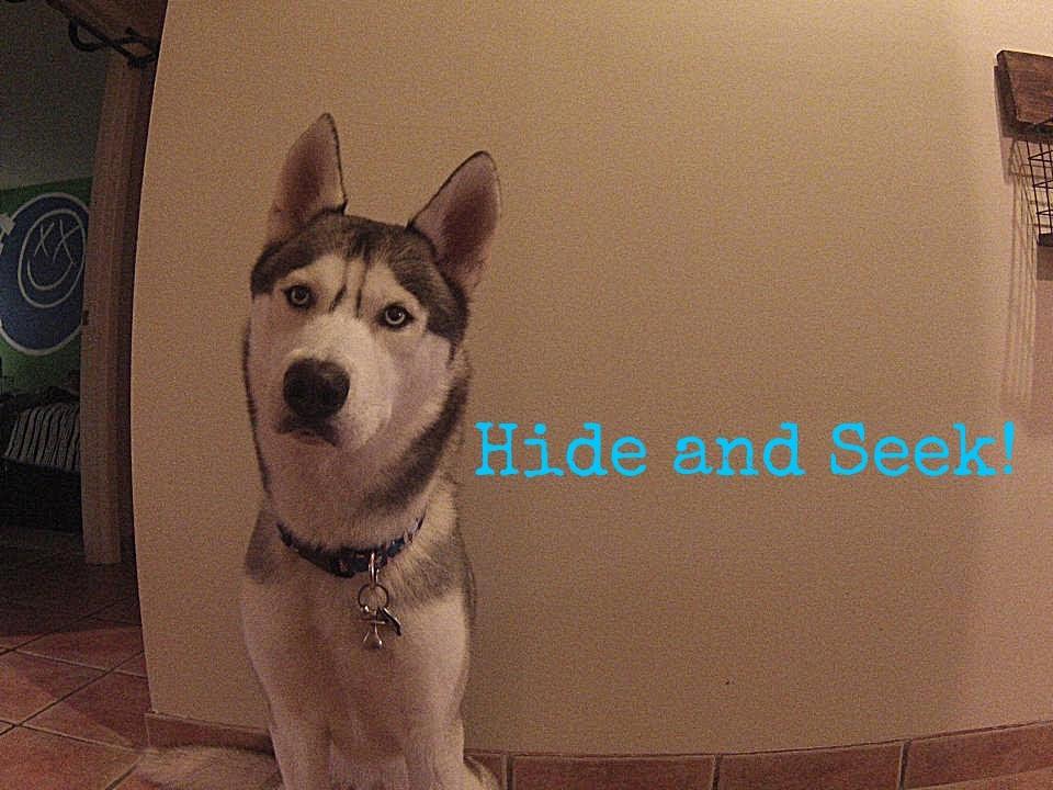 Husky Hide and Seek!