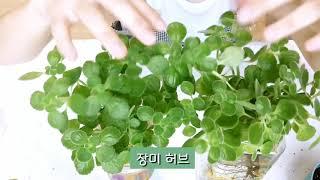수경재배/ 장미허브/ 행운목/ 테이블야자/ 홍콩야자/ …