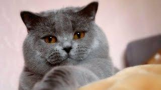 Скоттиш Страйт - Шотландский Котик как Плюшевая Игрушка | ПОРОДЫ КОШЕК