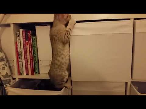 Funny Ocicat Cat Videos ❤️ Cute Ocicats Kittens