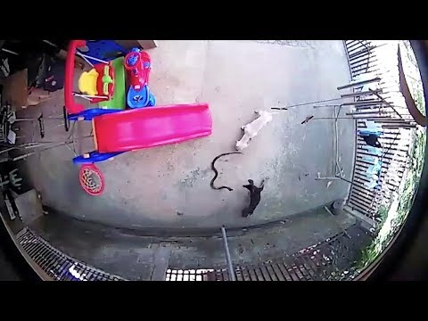 Dos perros salvan a una bebé de una venenosa cobra, uno de ellos ha muerto