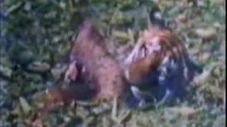 tigre vs cocodrilo