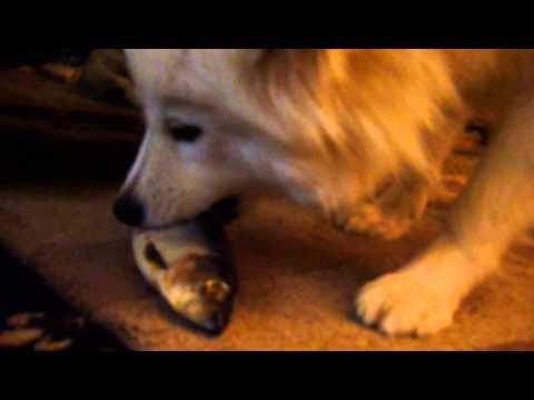 Saskia samoyed eats a whole raw herring fish feeding for Raw fish for dogs