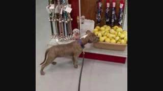 Pit Bull Puppy Training (apbt) - Newman Puppy Imprinting