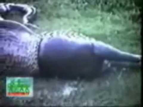 Giant snake eating hippo - photo#5
