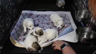 Coton Puppies For Sale - Ireland 9/30/20