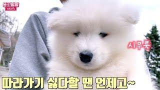 재입양되던 날, 처음 본 아빠 따라가기 싫다던 아기 사모예드 단추의 반전 적응기 We got  a Samoyed Puppy!