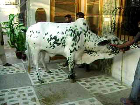 Cow Qurbani 2009 Khurram Cow Qurbani Part II - YouTubeQurbani Cow 2009