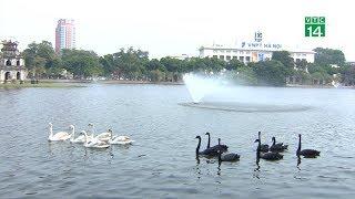 VTC14 | Vì sao đàn thiên nga ở Hồ Gươm bị bắt lại chỉ sau một đêm?