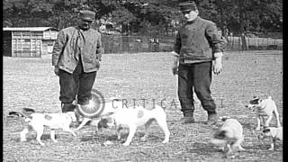 Dog Trainers Train Dogs To Catch Rats Which The Military Finds As Pests In Trench...hd Stock Footage