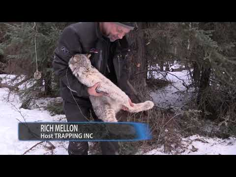 Trapping Inc Ep5 S4 Crazy year for Lynx on the Alberta Trapline